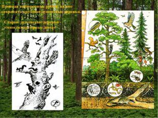 Проводя выборочные рубки, важно сохранять крупные дуплистые деревья. Старые д