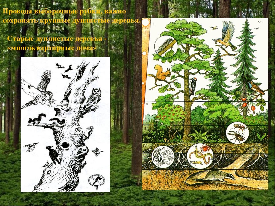 Проводя выборочные рубки, важно сохранять крупные дуплистые деревья. Старые д...
