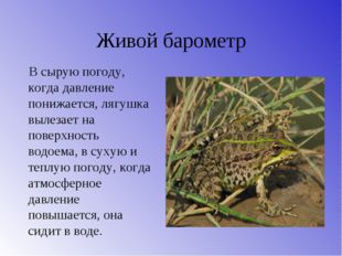 Живой барометр В сырую погоду, когда давление понижается, лягушка вылезает на