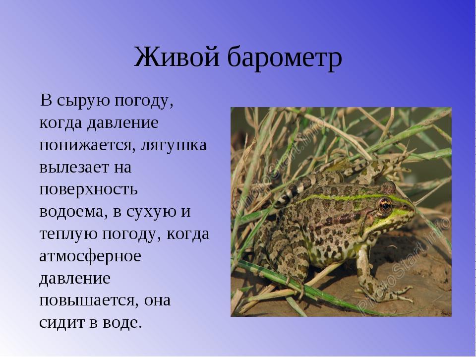 Живой барометр В сырую погоду, когда давление понижается, лягушка вылезает на...