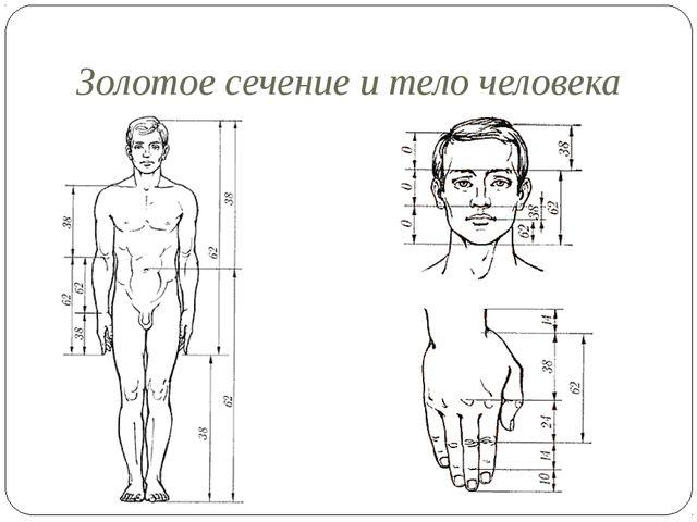 Золотое сечение и тело человека