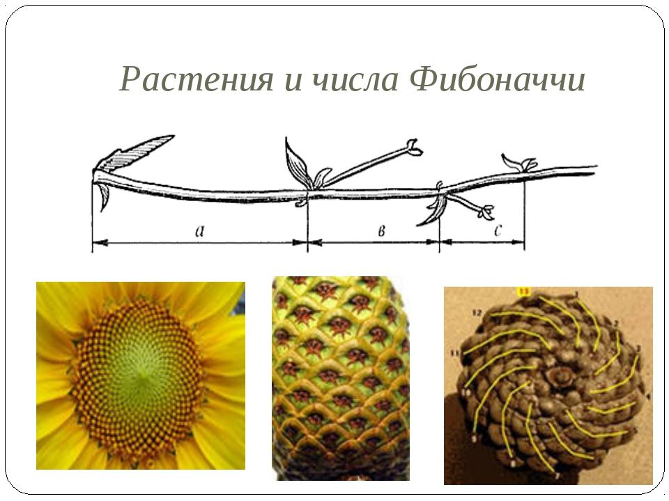 Растения и числа Фибоначчи