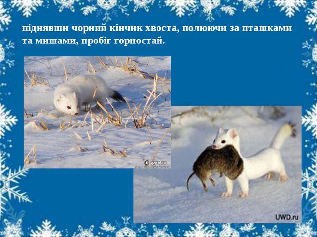 піднявши чорний кінчик хвоста, полюючи за пташками та мишами, пробіг горностай.