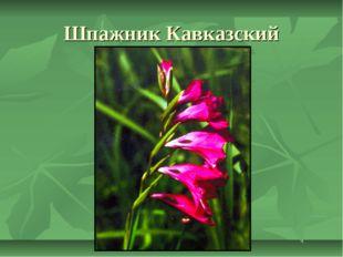 Шпажник Кавказский