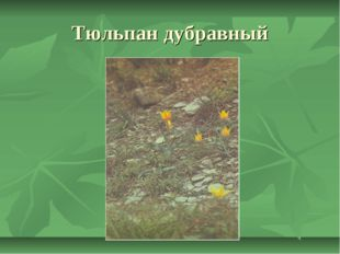 Тюльпан дубравный