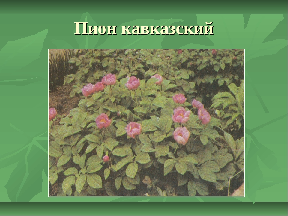 Пион кавказский