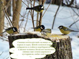 Синицы почти круглый год живут в лесах, парках и садах. Зимой в поисках корма