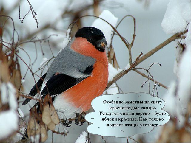 Особенно заметны на снегу красногрудые самцы. Усядутся они на дерево – будто...