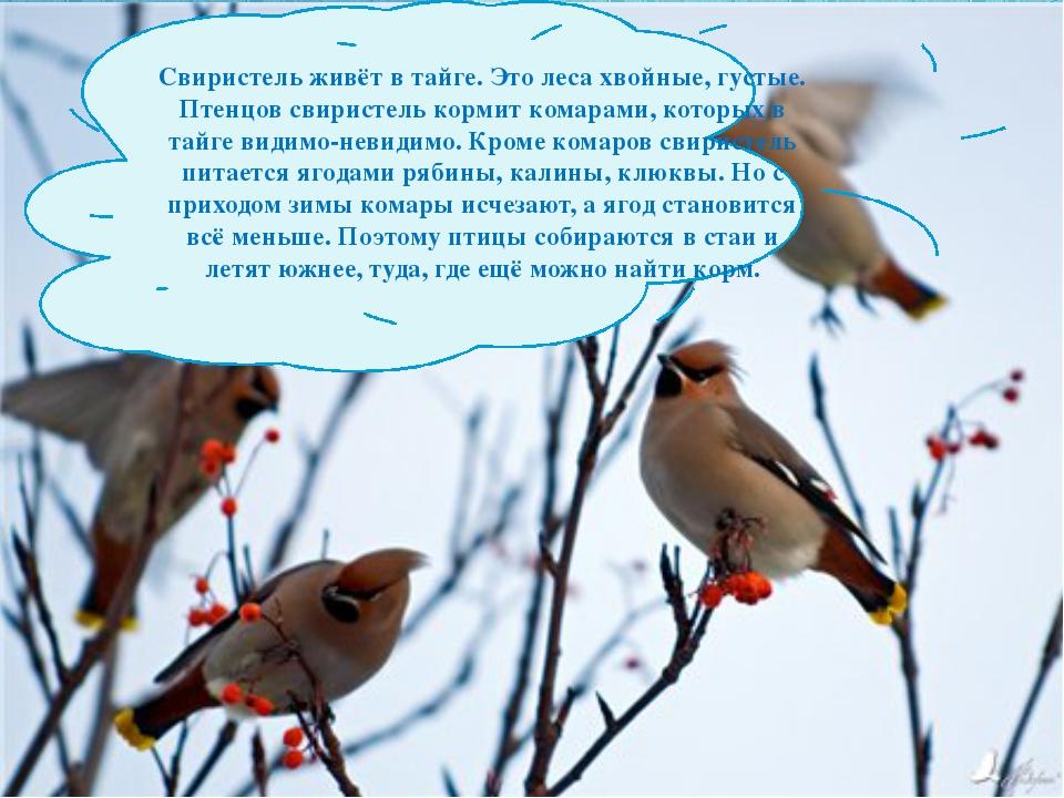 Свиристель живёт в тайге. Это леса хвойные, густые. Птенцов свиристель кормит...