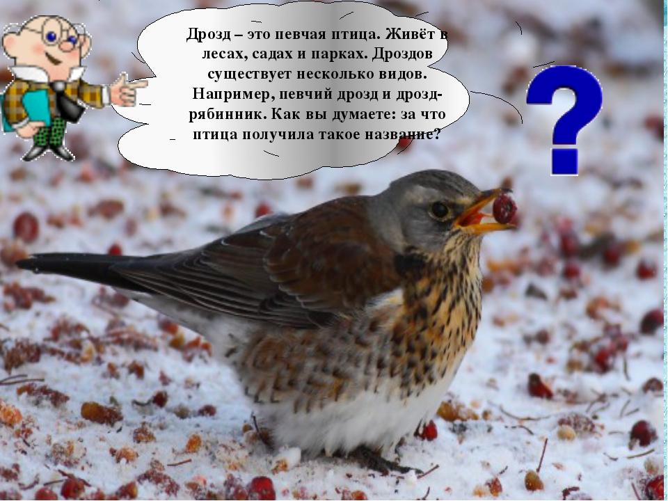 Дрозд – это певчая птица. Живёт в лесах, садах и парках. Дроздов существует н...