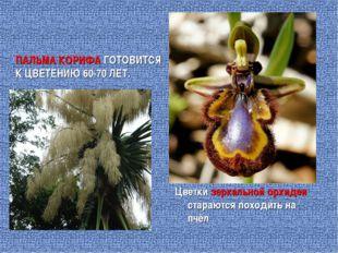 ПАЛЬМА КОРИФА ГОТОВИТСЯ К ЦВЕТЕНИЮ 60-70 ЛЕТ. Цветки зеркальной орхидеи стара