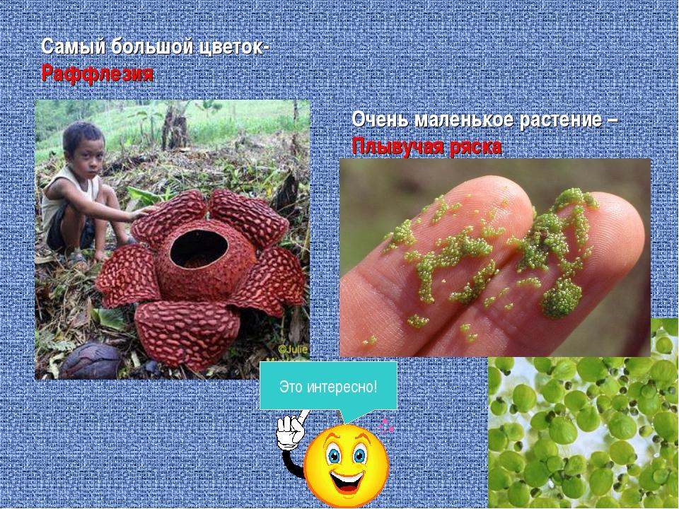 Самый большой цветок-Раффлезия Очень маленькое растение – Плывучая ряска Это...
