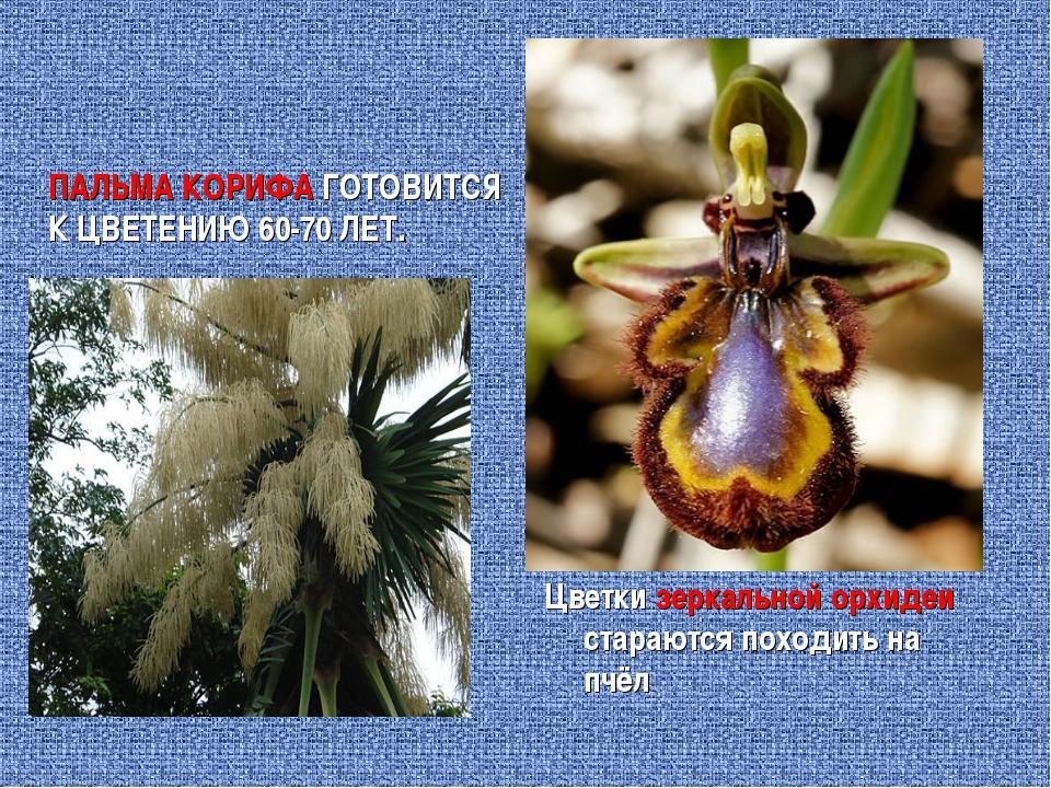 ПАЛЬМА КОРИФА ГОТОВИТСЯ К ЦВЕТЕНИЮ 60-70 ЛЕТ. Цветки зеркальной орхидеи стара...