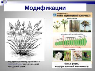 модификации листа у стрелолиста – приспособление растения к водной и воздушно