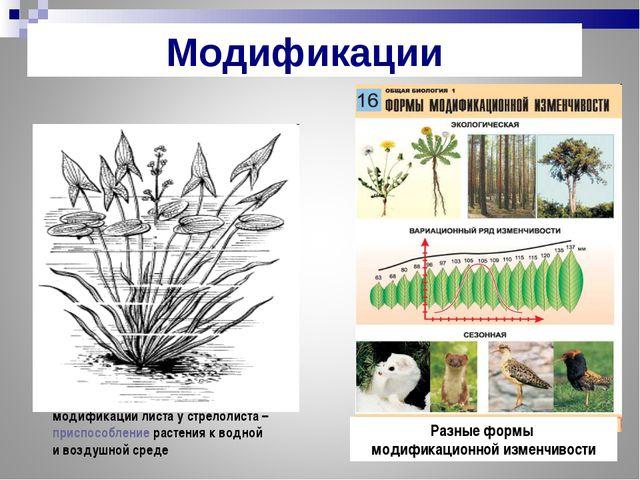 модификации листа у стрелолиста – приспособление растения к водной и воздушно...