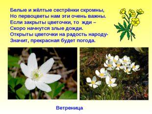 Белые и жёлтые сестрёнки скромны, Но первоцветы нам эти очень важны. Если зак