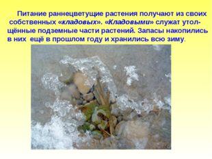 Питание раннецветущие растения получают из своих собственных «кладовых». «Кл