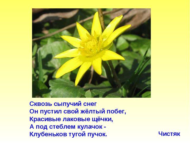 Сквозь сыпучий снег Он пустил свой жёлтый побег, Красивые лаковые щёчки, А по...