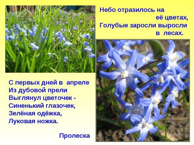 Пролеска Небо отразилось на её цветах, Голубые заросли выросли в лесах. С пер...