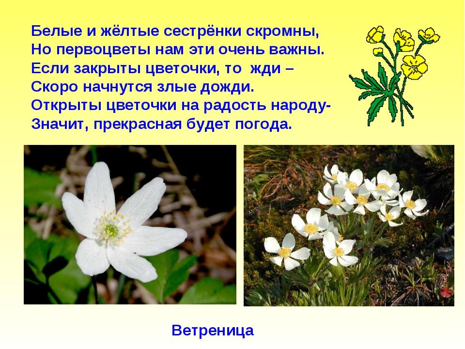 Белые и жёлтые сестрёнки скромны, Но первоцветы нам эти очень важны. Если зак...