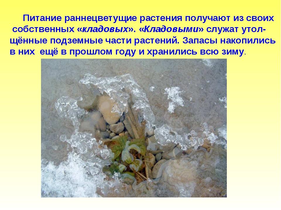 Питание раннецветущие растения получают из своих собственных «кладовых». «Кл...