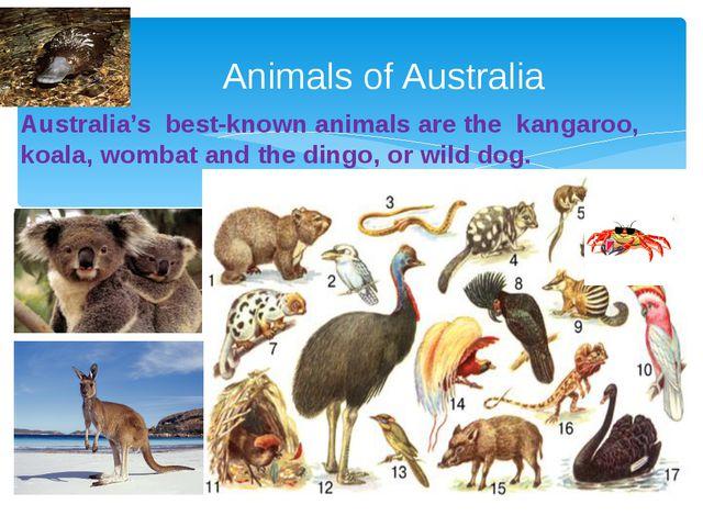 Australia's best-known animals are the kangaroo, koala, wombat and the dingo,...