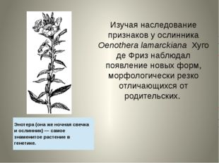 Изучая наследование признаков у ослинника Oenothera lamarckiana Хуго де Фриз