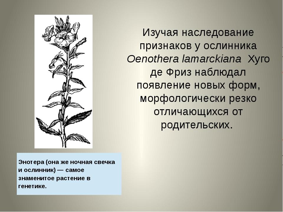 Изучая наследование признаков у ослинника Oenothera lamarckiana Хуго де Фриз...