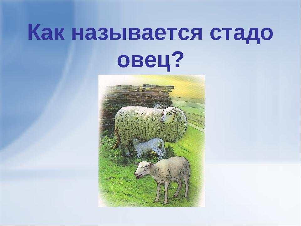 Как называется стадо овец?
