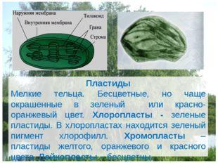 Пластиды Мелкие тельца. Бесцветные, но чаще окрашенные в зеленый или красно-о