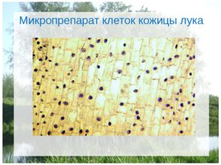 Микропрепарат клеток кожицы лука