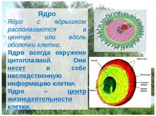 Ядро Ядро с ядрышком располагаются в центре или вдоль оболочки клетки. Ядро в