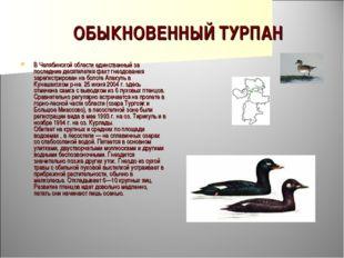 ОБЫКНОВЕННЫЙ ТУРПАН В Челябинской области единственный за последние десятилет