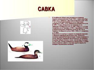 САВКА В Челябинской области вид находится на северном пределе распространения