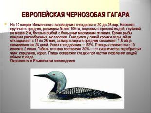 ЕВРОПЕЙСКАЯ ЧЕРНОЗОБАЯ ГАГАРА На 10 озерах Ильменского заповедника гнездится