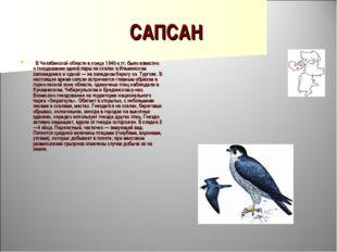 САПСАН  В Челябинской области в конце 1940-х гг. было известно о гнездовании