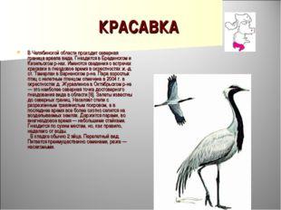 КРАСАВКА В Челябинской области проходит северная граница ареала вида. Гнездит