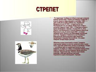 СТРЕПЕТ  По территории Челябинской области проходит северная граница ареала