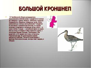 БОЛЬШОЙ КРОНШНЕП  В Челябинской области встречается в лесостепной и степной