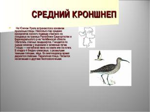 СРЕДНИЙ КРОНШНЕП  На Южном Урале встречаются в основном пролетные птицы. Нес