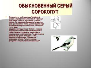 ОБЫКНОВЕННЫЙ СЕРЫЙ СОРОКОПУТ Встречается на всей территории Челябинской облас