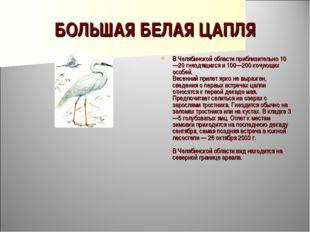 БОЛЬШАЯ БЕЛАЯ ЦАПЛЯ В Челябинской области приблизительно 10—20 гнездящихся и