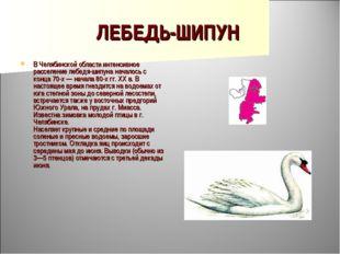 ЛЕБЕДЬ-ШИПУН В Челябинской области интенсивное расселение лебедя-шипуна начал