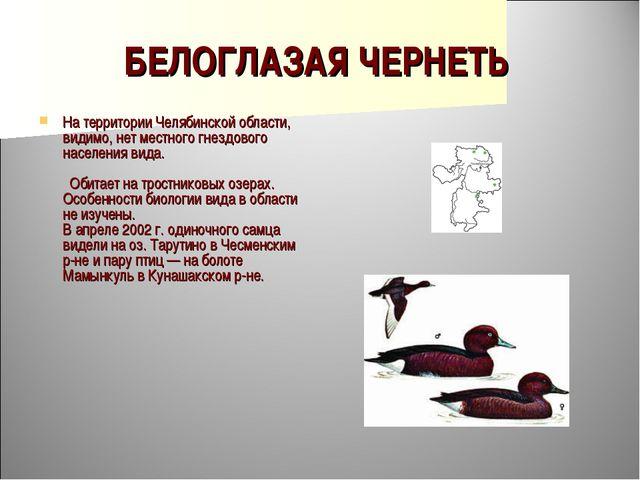 БЕЛОГЛАЗАЯ ЧЕРНЕТЬ На территории Челябинской области, видимо, нет местного гн...