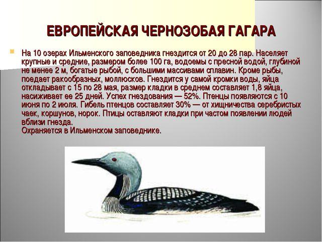 ЕВРОПЕЙСКАЯ ЧЕРНОЗОБАЯ ГАГАРА На 10 озерах Ильменского заповедника гнездится...