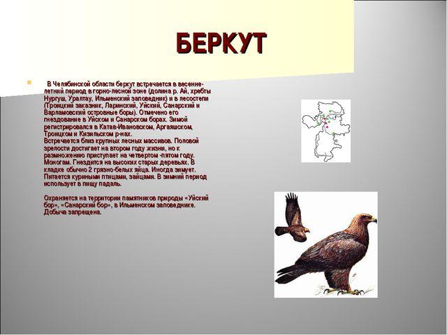 БЕРКУТ  В Челябинской области беркут встречается в весенне-летний период в г...
