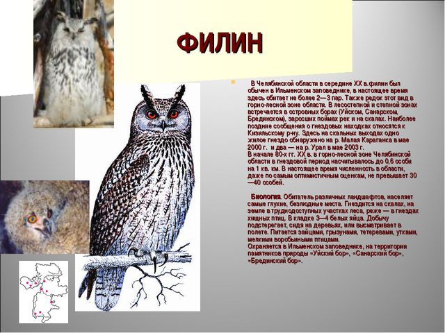ФИЛИН  В Челябинской области в середине XX в.филин был обычен в Ильменском з...