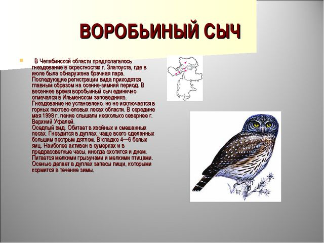 ВОРОБЬИНЫЙ СЫЧ  В Челябинской области предполагалось гнездование в окрестнос...