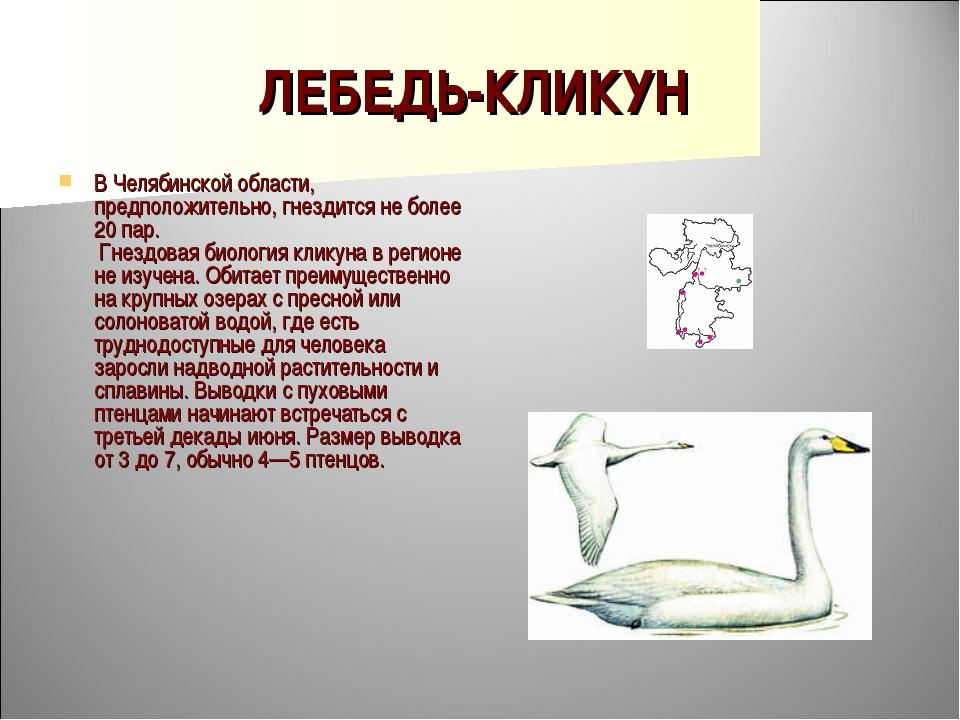 ЛЕБЕДЬ-КЛИКУН В Челябинской области, предположительно, гнездится не более 20...