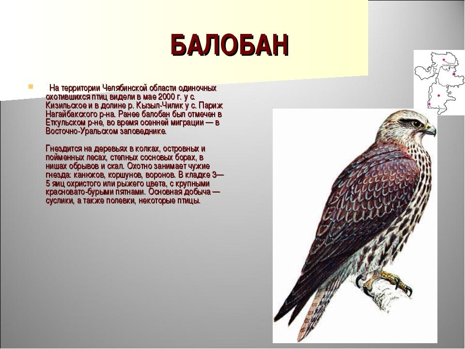 БАЛОБАН  На территории Челябинской области одиночных охотившихся птиц видели...